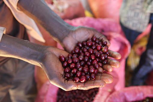 Ethiopian Coffee Fruit