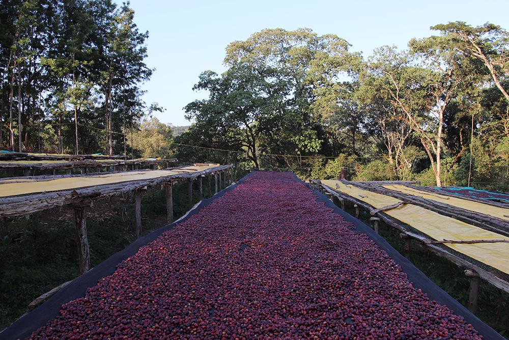 Ethiopia red cherries
