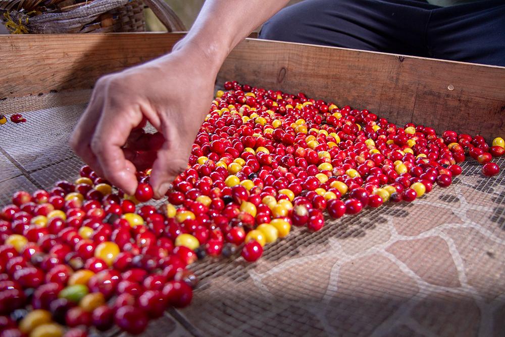 Green cherry sorting