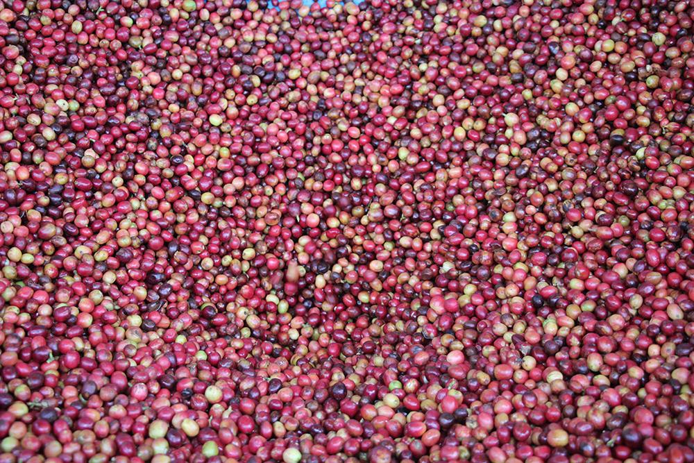 Red and ripe cherries from Rwanda